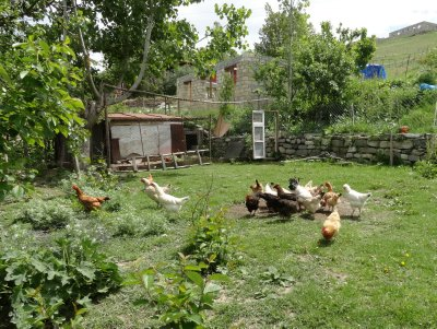 Chickens in My Yard in Lahic 5-23-2013 1-32-45 AM