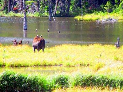 Female Moose Rump