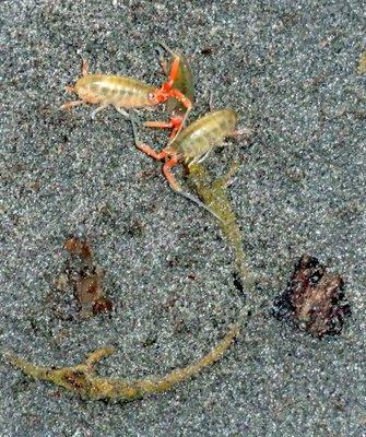Half Shrimp Half Cricket