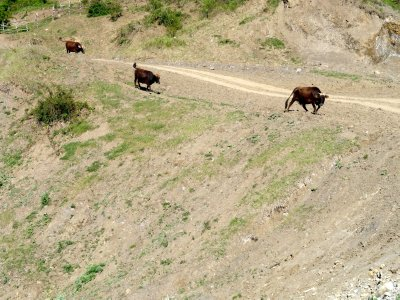 Here Come the Cows 5-24-2013 10-28-58 PM