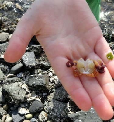Infant Crab from Puget Sound