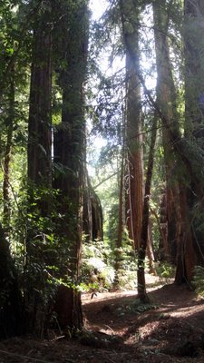Redwoods at Pfeiffer SP Big Sur