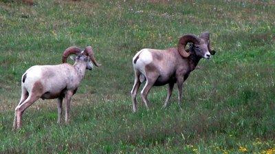 Sheep Not Goats