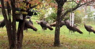 Turkeys on the Lawn