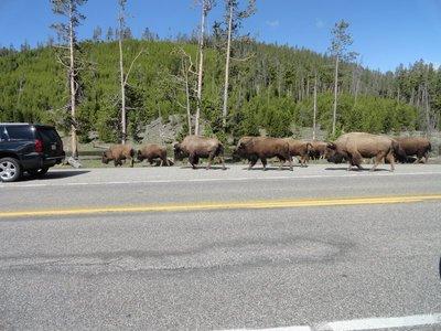 Yellowstone Rush Hour