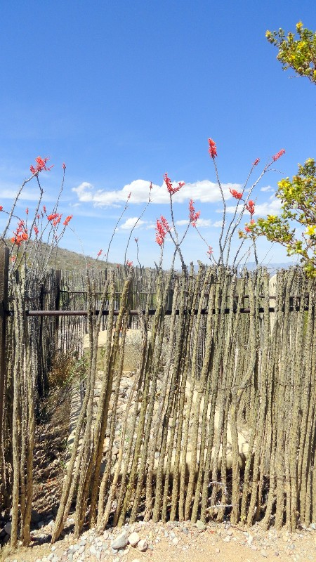Ocotillo Fence