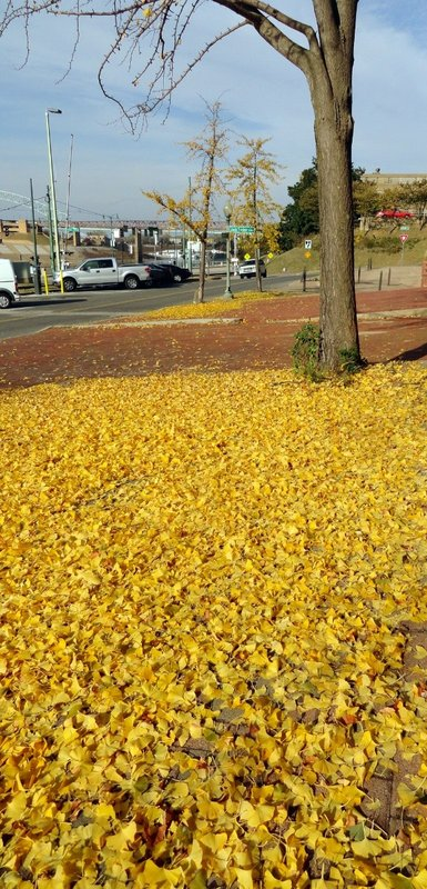 All Ghinko Leaves Drop at Same Time