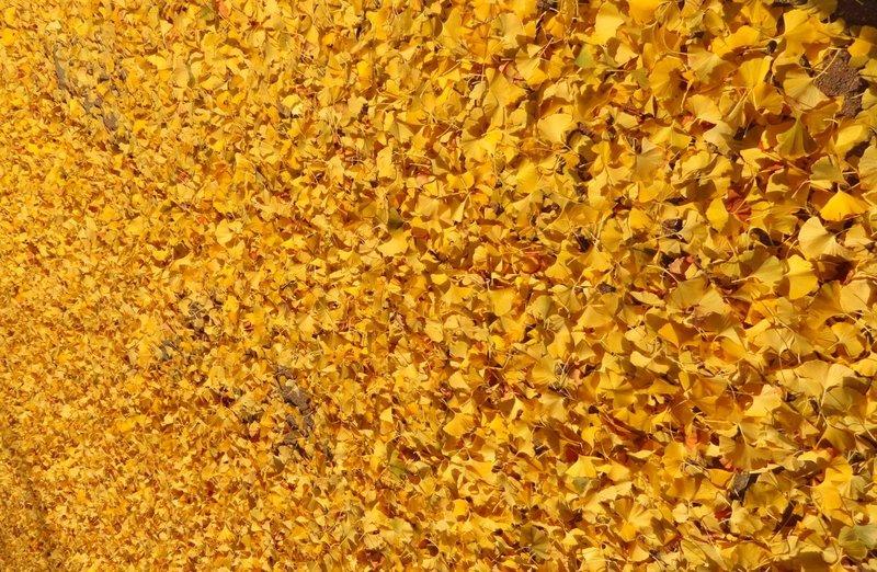 Ghinko Leaves Have Fallen