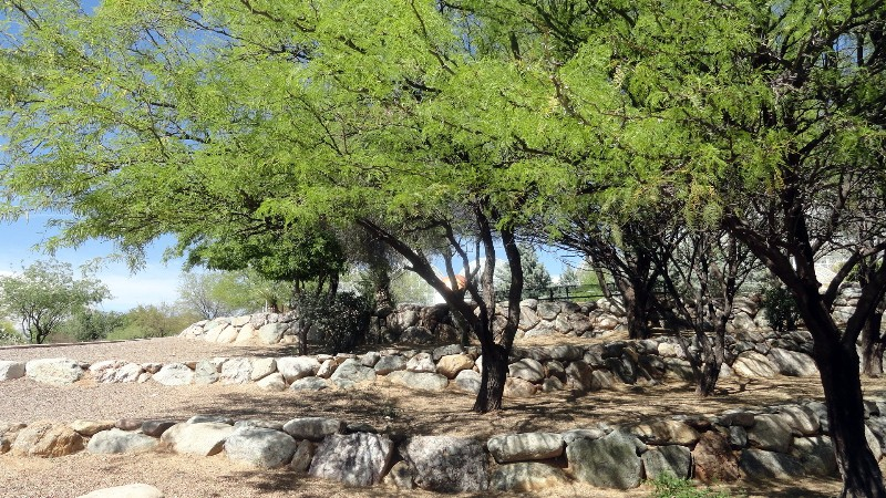 Mesquite Trees at Biosphere 2