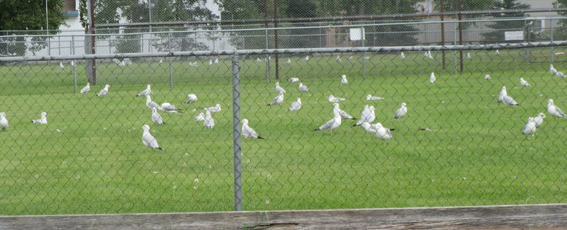 More Gulls Than On Vancouver Island