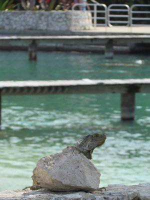 Iguana Standing Guard Over the Green Sea Turtles
