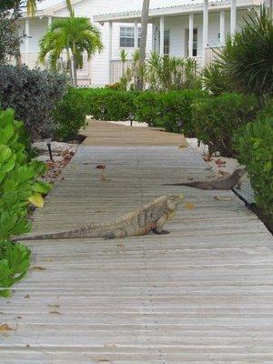 Guard Iguanas
