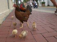 1280px-Chickenfamily.jpg