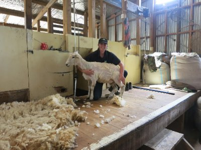 A sheared sheep