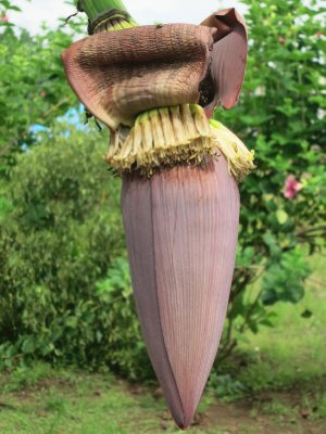 Banana flower