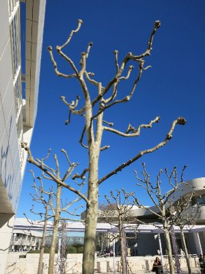 Polled sycamores at Getty