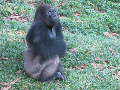 Rescued gorilla