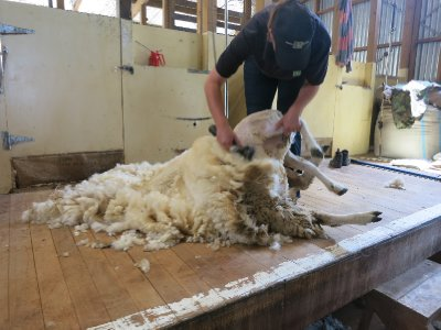 Sheep being sheared