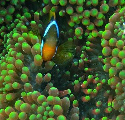 Nimo - the clown fish