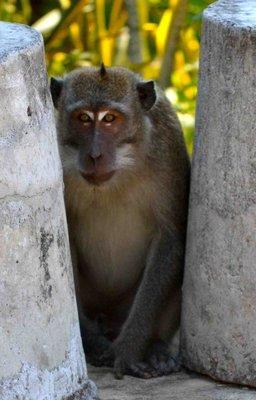 Monkey at Lombok
