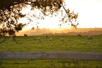 Sheep_at_sunset__SA.jpg