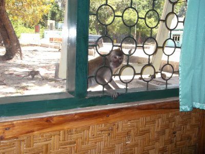 Macaque trying to get in our window!