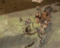 Kizil Toilet Spider