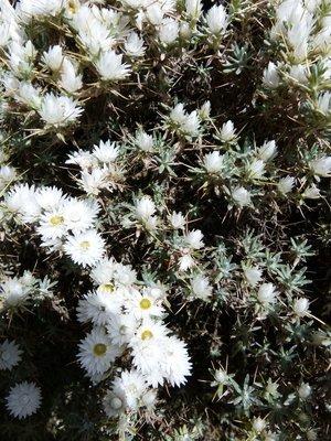 White everlasting flower