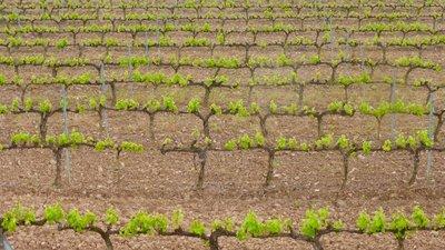 Wine fields forever....