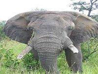 Elephant Kruger Park