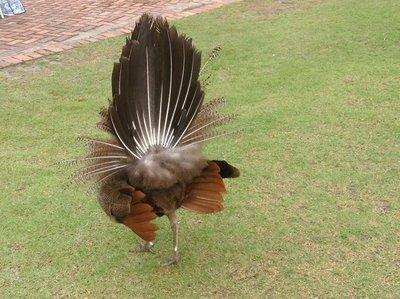 3.Backside of male peacock