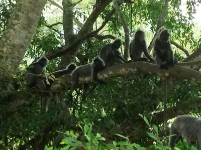 A gang of silver leaf monkeys chilling on a branch of a tree by the road.