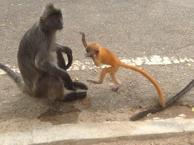 A mother silver leaf monkey letting her baby play by the road.