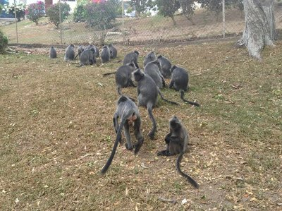 A pack of silver leaf monkeys grouped together for a meeting.