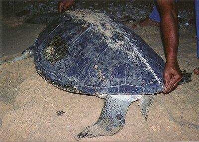 A volunteer taking measurement of the greenback turtle. Sept 2003