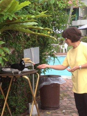 Feeding the hornbill by hand.
