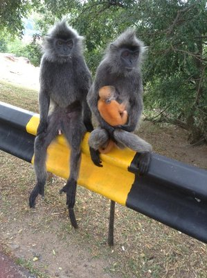 Loving couple - Silver leaf monkeys with a baby. 090713