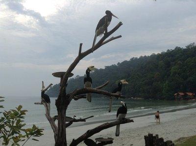 Pied hornbills waiting for feeding time at Pangkor Island Beach Resort.