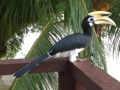 Pied hornbill percehed at the balcony of the restaurant.