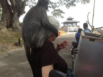 Silver leaf monkey on the shoulder of an Australian tourist waiting for food. 090713