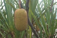 Rasau fruit