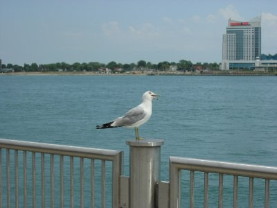 Sea Gull on the waterfront in Detroit (2)
