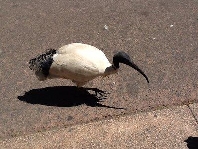 De Sydney duif hebben we ze gedoopt