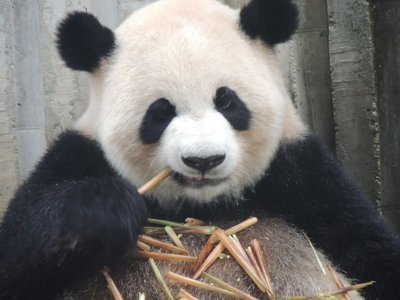 Tam's favourite panda munching on bamboo