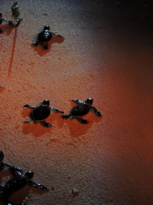 Green turtle hatchling release -on Turtle Island in Borneo
