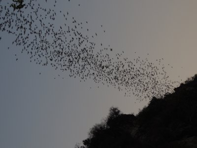 Mass exodus from the Bat Cave!