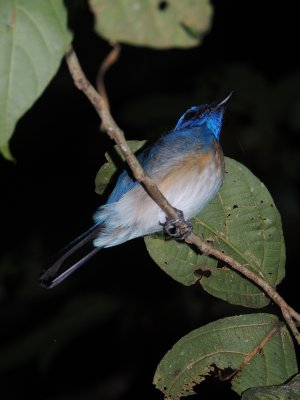 155_Night_.._flycatcher.jpg