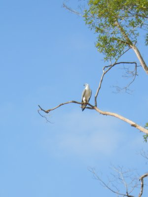 Second morning boat safari at Uncle Tan's in Borneo - grey-headed fish eagle