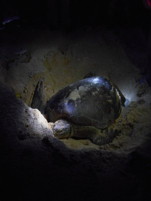 Green Turtle laying her eggs on Turtle Island in Borneo