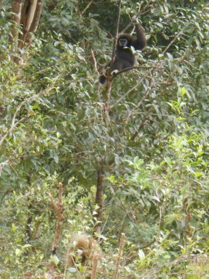 An actual gibbon - can you spot it?